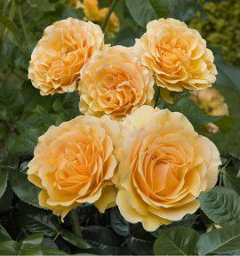 ROSIER A FLEURS GROUPEES AMBER QUEEN