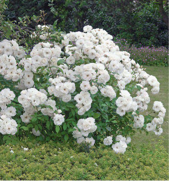 Rosier a fleurs groupees iceberg plante en ligne - Rouille rosier traitement naturel ...