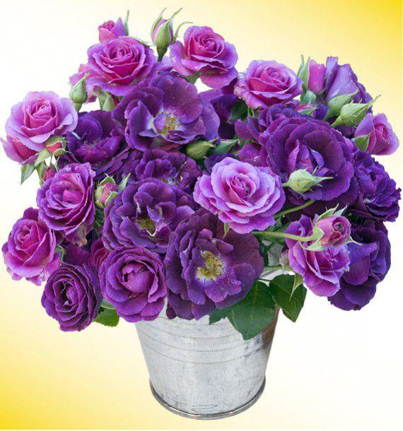 Rosier a fleurs groupees mysterieuse dormyst plante en ligne - Rouille rosier traitement naturel ...