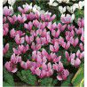 CYCLAMEN DE NAPLES ROSE