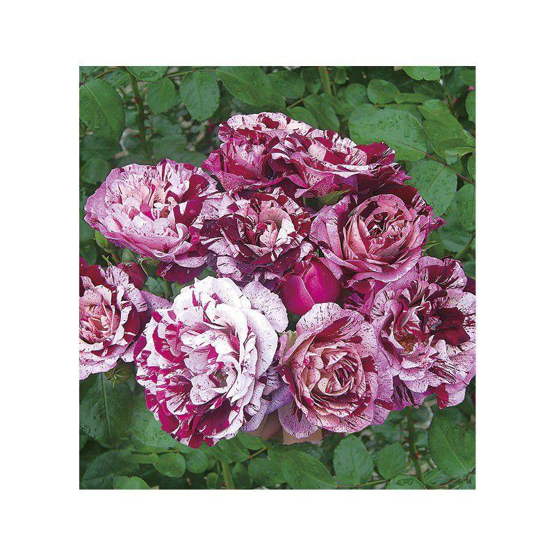Rosier a fleurs groupees new imagine dormelo plante en ligne - Rouille rosier traitement naturel ...