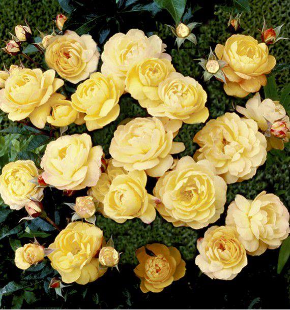 rosier couvre sol the fairy jaune plante en ligne. Black Bedroom Furniture Sets. Home Design Ideas