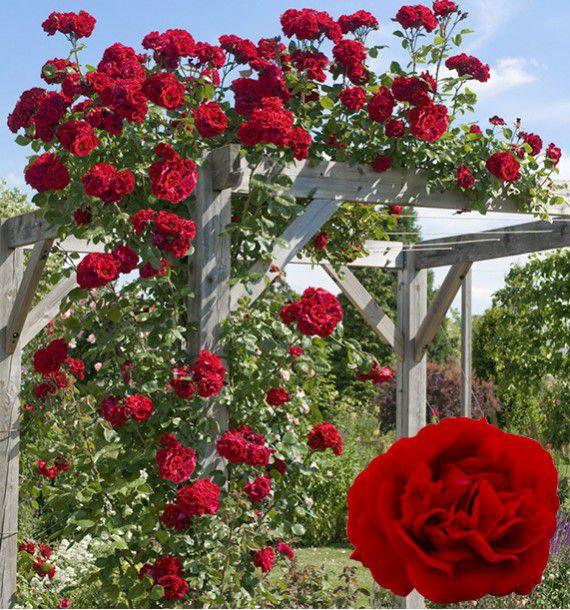 rosier grimpant etoile de hollande jacques briant plante. Black Bedroom Furniture Sets. Home Design Ideas