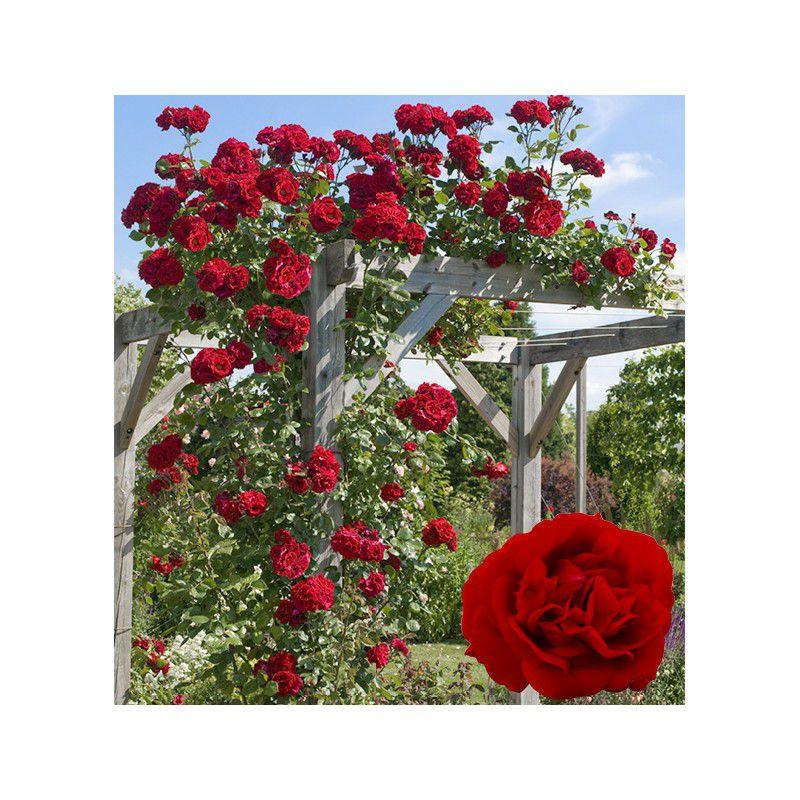 Extrêmement ROSIER GRIMPANT ETOILE DE HOLLANDE Jacques Briant, plante en ligne ST36