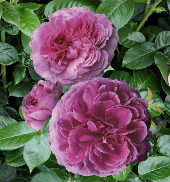 Rosier grimpant mme isaac pereire plante en ligne - Rouille rosier traitement naturel ...