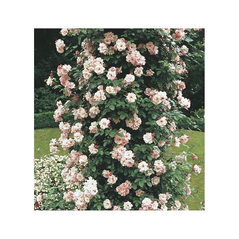Rosier grimpant new dawn plante en ligne - Rouille rosier traitement naturel ...