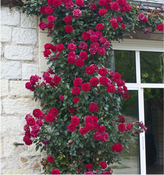 Rosier grimpant le grand huit adabaring plante en ligne - Comment couper une rose sur un rosier ...