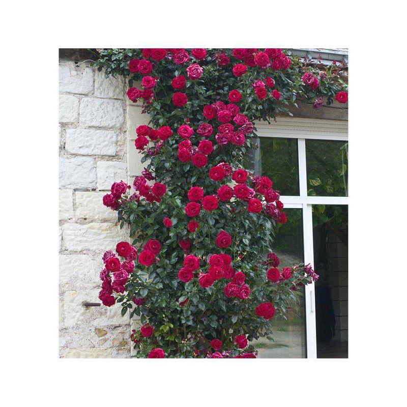 rosier grimpant le grand huit adabaring plante en ligne