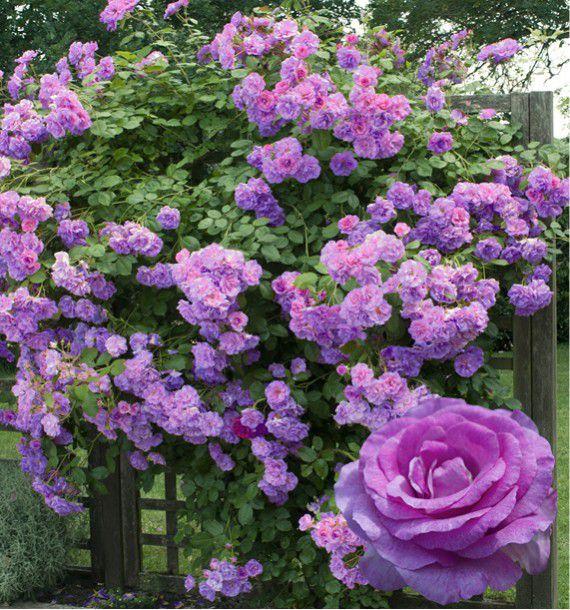 Rosier grimpant violette parfumee dorientsar plante en ligne - Arche pour rosier grimpant ...