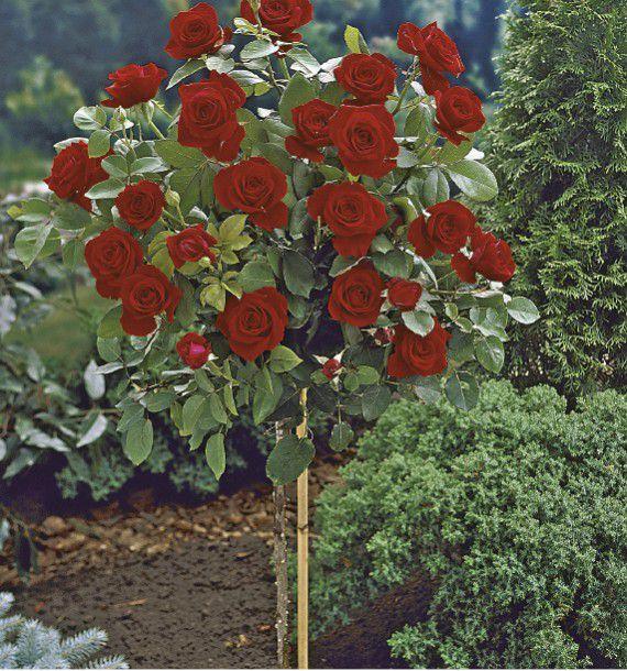 Desherbant Rosiers Arbustes : rosier tige poema plante en ligne ~ Premium-room.com Idées de Décoration