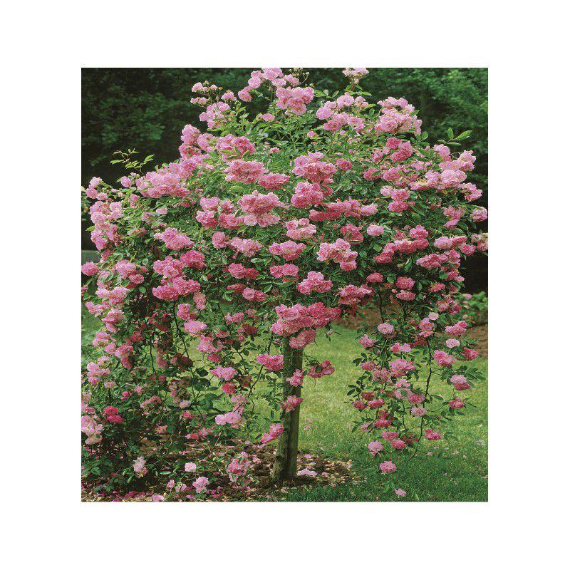 Rosier pleureur dorothy perkins plante en ligne - Rouille rosier traitement naturel ...