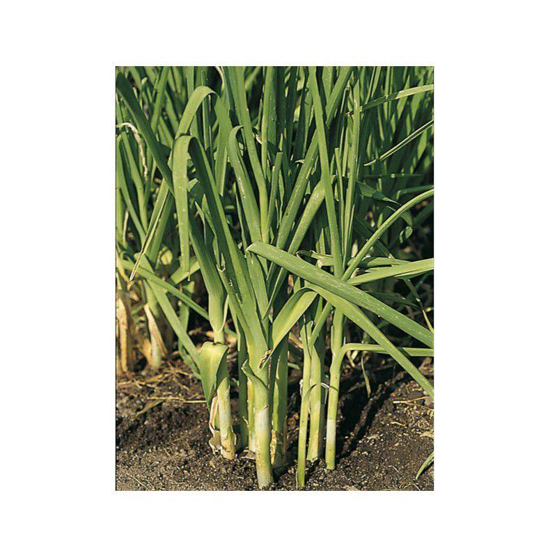 Poireau perpetuel plante en ligne for Plantes en ligne belgique