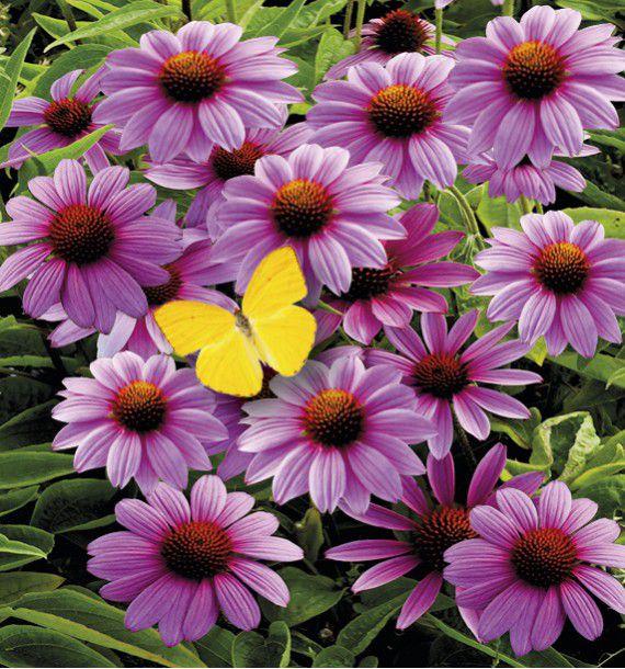 Echinacea purpurea plante en ligne for Prix plantes vivaces