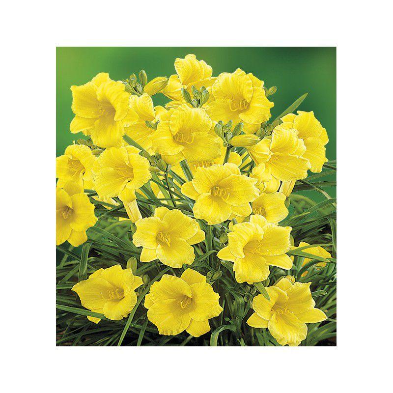 Hemerocalle naine stella de oro plante en ligne for Commander des plantes en ligne