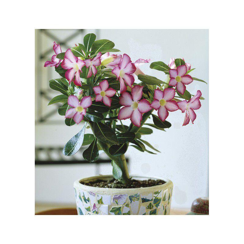 Belle Plante Exterieur Of Rose Du Desert Plante En Ligne