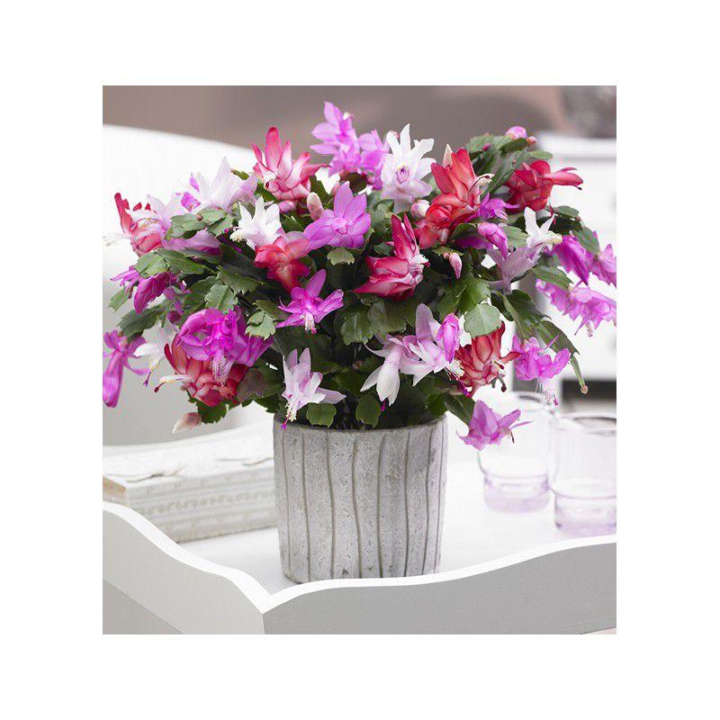 Cactus de no l tricolore plante en ligne for Plante de noel