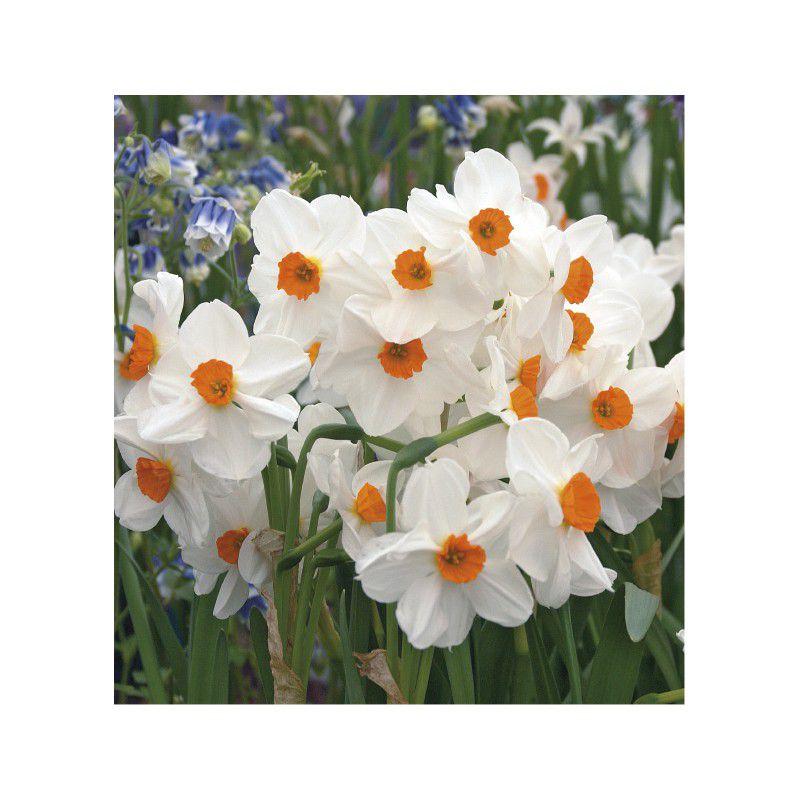 Narcisse pluriflore geranium plante en ligne for Geranium d interieur