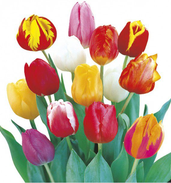 TULIPES SIMPLES HATIVES EN MELANGE