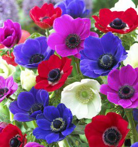 ANEMONES SIMPLES DE CAEN
