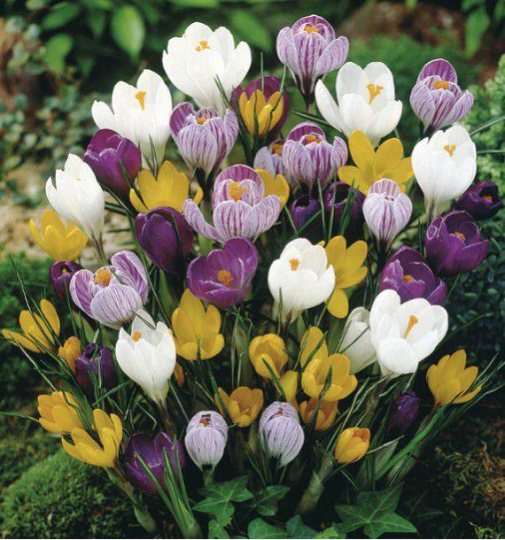 crocus a grosses fleurs en melange plante en ligne. Black Bedroom Furniture Sets. Home Design Ideas
