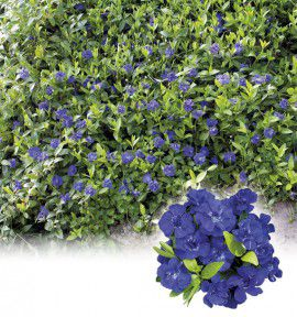fleurs bleues vivaces rampantes. Black Bedroom Furniture Sets. Home Design Ideas