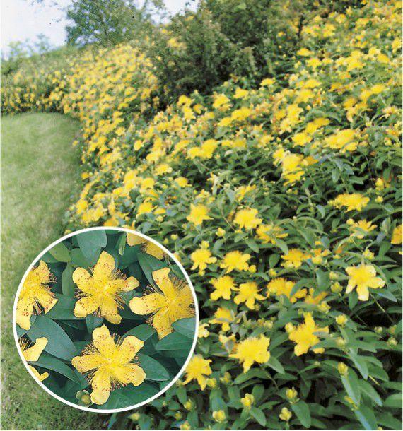 Millepertuis jacques briant plante en ligne for Plantes vivaces couvre sol