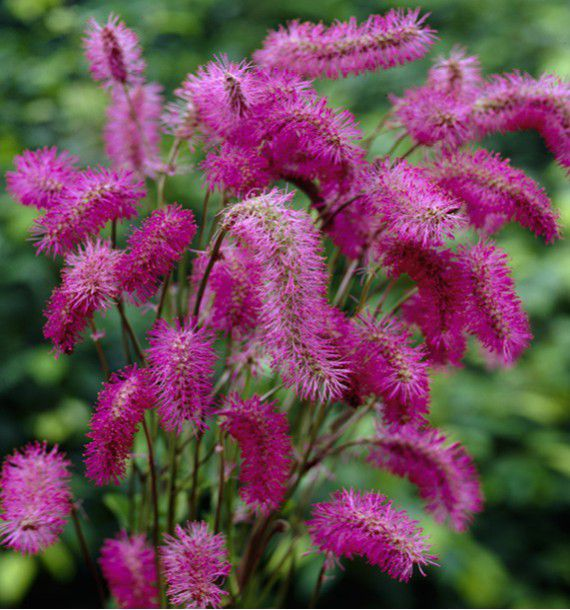 SANGUISORBA OBTUSA ROSE