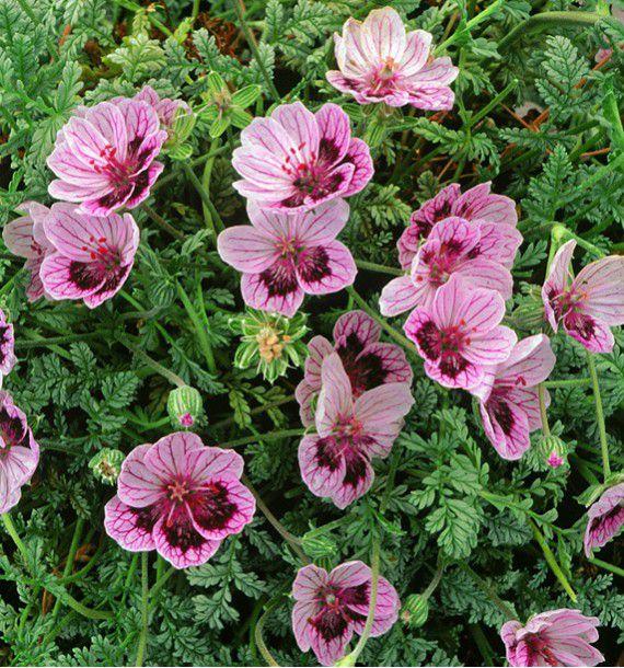 Erodium natasha jacques briant plante en ligne for Briant plantes