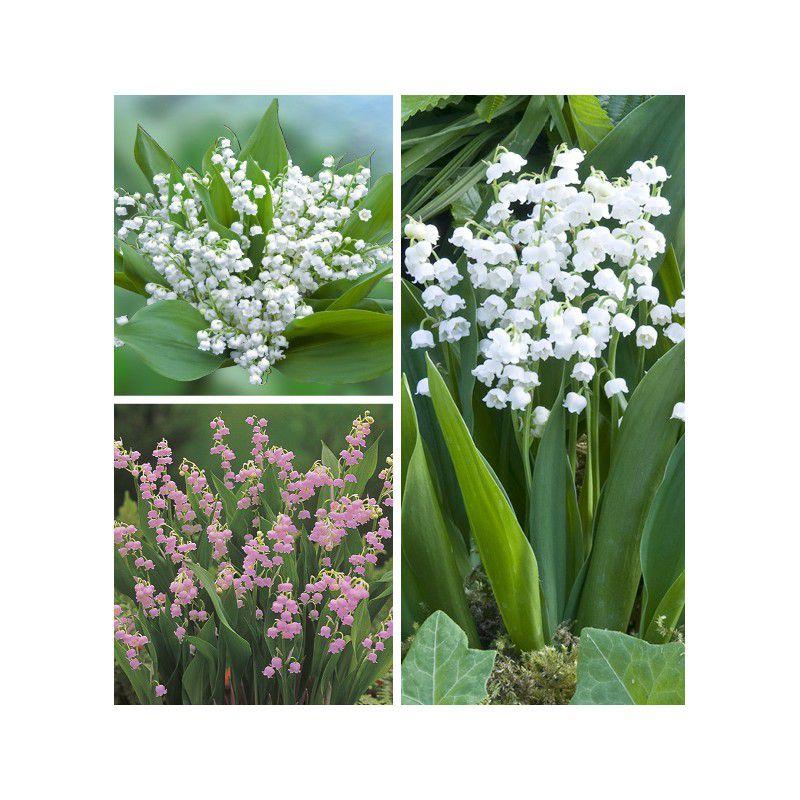 Colibriant 18 muguets plante en ligne for Plante en ligne