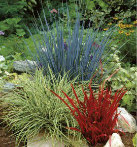 COLLECTION 3 GRAMINEES COLOREES : 1 ELYMUS GLAUCUS + 1 CAREX EVERGOLD + 1 IMPERATA RED BARON