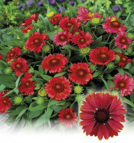 GAILLARDE NAINE RED SHADES