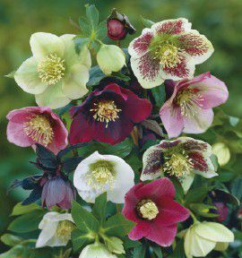 HELLEBORES EN MELANGE SIMPLE