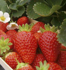 fraisier grimpant mount everest jacques briant plante en ligne. Black Bedroom Furniture Sets. Home Design Ideas