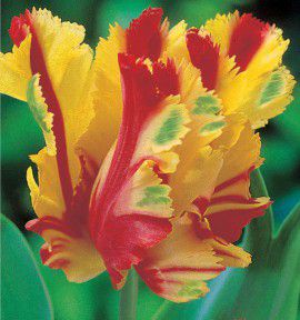 TULIPE PERROQUET FLAMING PARROT