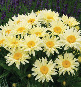 MARGUERITE BANANA CREAM