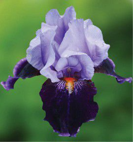 IRIS GERMANICA MAGIC MAN