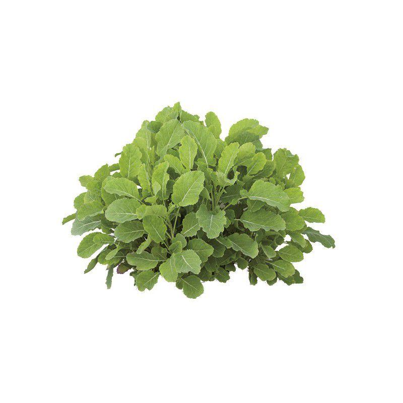 Chou daubenton plante en ligne for Plante en ligne