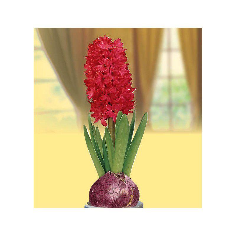 jacinthe parfumee rouge plante en ligne. Black Bedroom Furniture Sets. Home Design Ideas