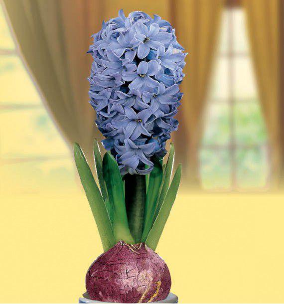 JACINTHE PARFUMEE BLEUE