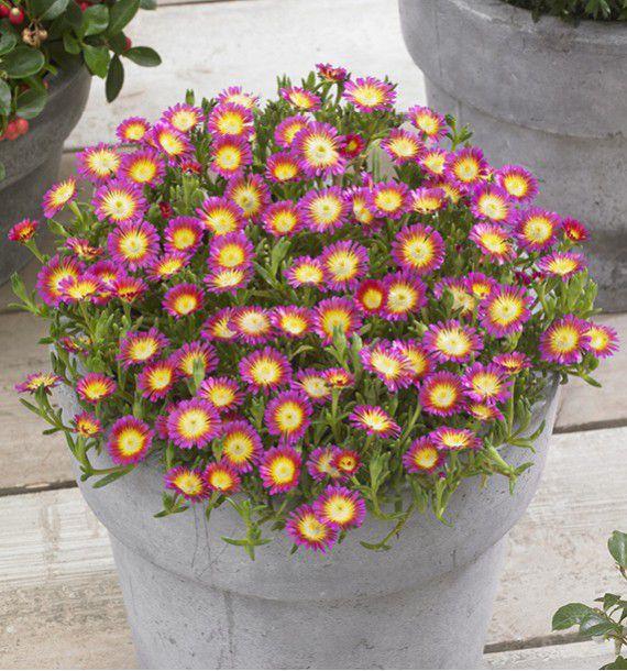 delosperma wheels of wonder hot pink plante en ligne. Black Bedroom Furniture Sets. Home Design Ideas