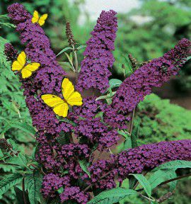 BUDDLEIAS NANHO PURPLE