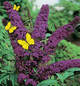 Kit haie fleurie parfumee jacques briant plante en ligne for Briant plantes