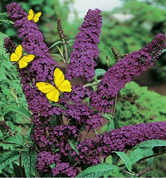 Buddleia nanho purple plante en ligne for Commander des plantes en ligne