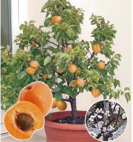 les mini arbres fruitiers. Black Bedroom Furniture Sets. Home Design Ideas