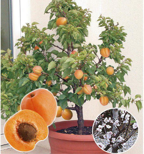 abricotier nain garden aprigold plante en ligne. Black Bedroom Furniture Sets. Home Design Ideas