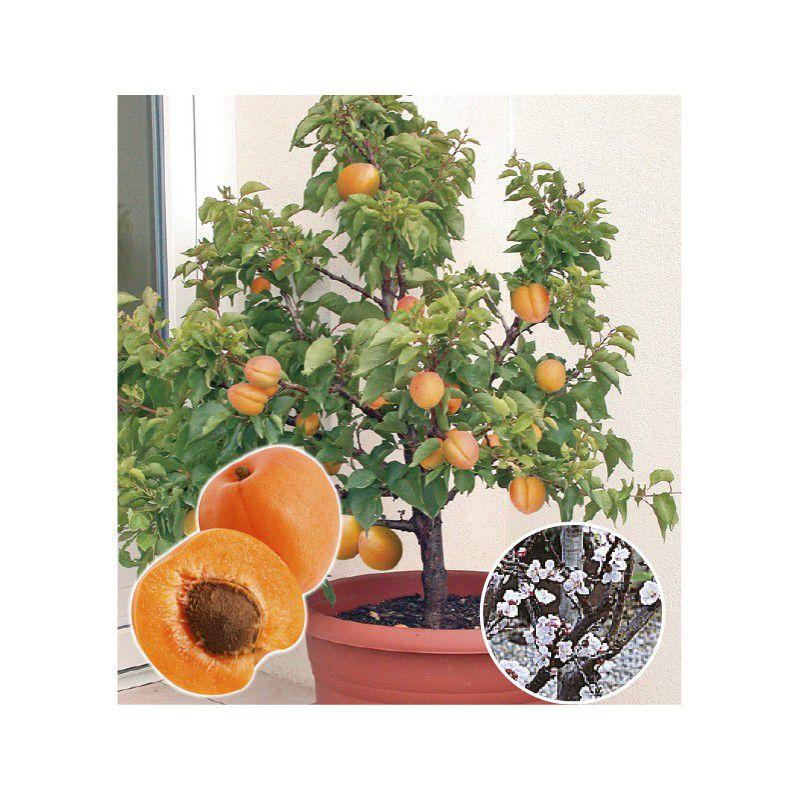 abricotier garden aprigold