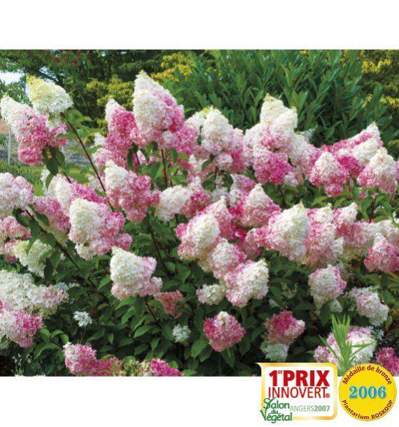 hortensia vanille fraise 174 renhy jacques briant plante en ligne