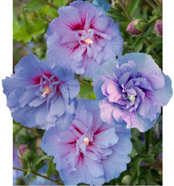 HIBISCUS BLUE CHIFFON® Notwoodthree