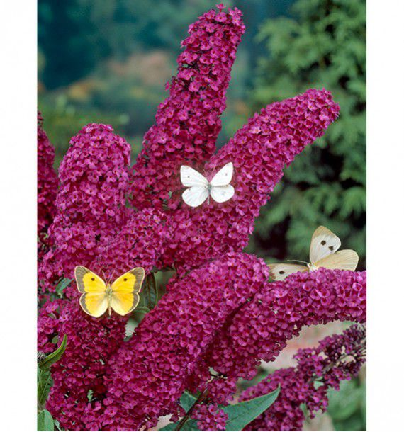 Buddleia royal red plante en ligne for Plantes en ligne belgique