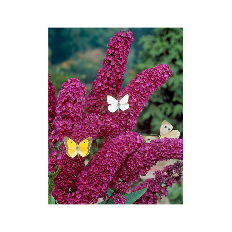 Buddleia royal red plante en ligne for Commander des plantes en ligne
